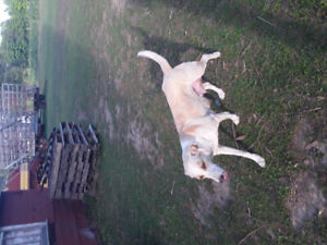 Pure silver lab x puppies for sale
