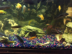 Variety of cichlids fish for sale