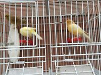 3 female canaries for sale canary bird