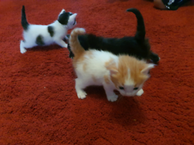 Mixed Calico Kittens BLUE EYES