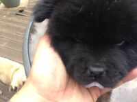 ***black male chow for sale***