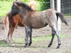 4 month old Weanling Grey Filly
