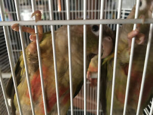 2 Cinnamon Green Cheek Conures 5 months old