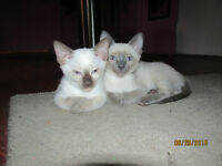 Classic and Blue 9 weeks old vet checked girls siamese