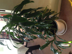 Beautiful house plants - Moving sale Kingston Kingston Area image 2