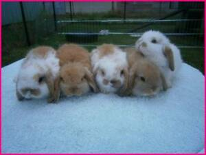 ♥♥♥ The Binky Bunny Mini Lop Rabbit Hutch Package ♥♥♥ Londonderry Penrith Area Preview