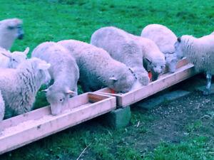 Organic grain feed lambs