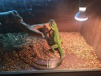 1 year old green iguana