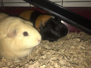 2 guinea pigs for sale, everything included!