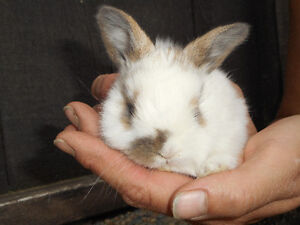 CUTE AND CUDDLY HOLLAND LOP EARED BUNNIES