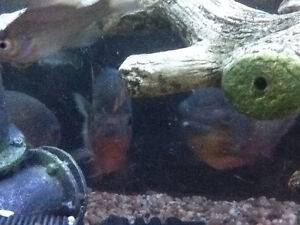125 gallon fish tank with 4 red belly piranha's - complete Windsor Region Ontario image 4