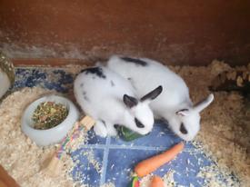 Two Netherland Dwarf baby rabbits