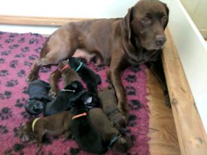 Labrador puppies - Purebred - Chocolate and Black