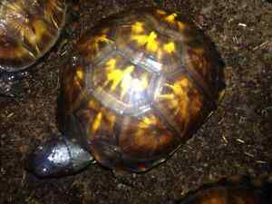 Eastern Box Turtles-Group of 3  Young & very healthy ...