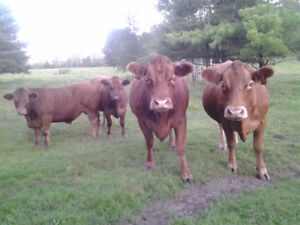 Small beef herd for sale