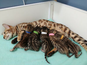 TICA registered brown spotted bengal kitten males