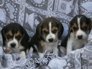 2 Male Beagle Puppies - Come pick one out!