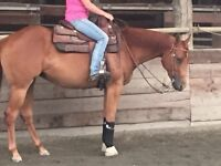Show home ready AQHA /APHA reg, sorrel mare for sale
