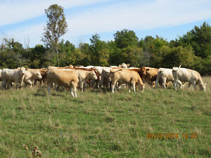 Bred first calf heifers Kitchener / Waterloo Kitchener Area image 1