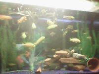 """ASSORTED CICHLIDS FOR SALE (1"""" - to Adult)"""