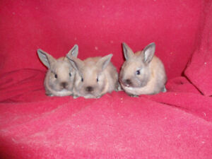 HOPPING SWEET BABY BUNNIES FOR SALE ! available wkend Mar.16