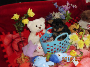 Super  Gorgeous  Tiny-toys  &  Tea - Cup  Yorki -poo  Puppies