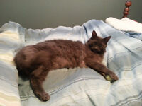 Charley - Lost Male Cat - Grey DLH