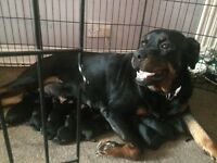 Litter of Rottweiler pups