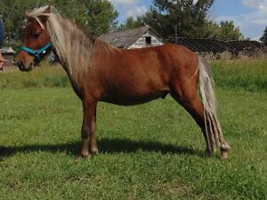 Studs Available AMHR Miniature and Welsh Pony