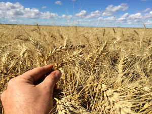 Winter Wheat Certified Seed For Sale