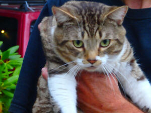 Small male brown tabby found in downtown Bridgewater