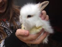 Gorgeous fuzzy lop bunny rabbits ready June 21
