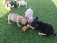 French bulldog puppies triple carriers