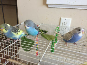 Baby Budgies--Hand fed