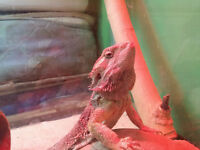 Female bearded dragon, comes with everything you will need