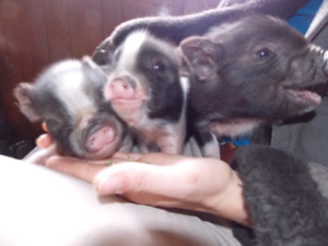 Mini pot belly piglets for sale