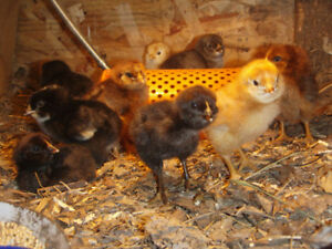 Heritage mix chicks