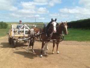 Team for sale! Half sisters, 4 year olds, green broke to drive.
