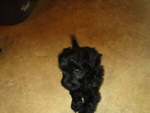 Havenese\miniature Poodle mix
