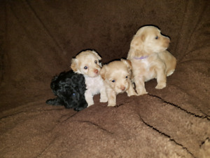 F1 Toy Chidoodle Puppies (some still avail)