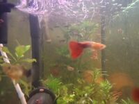 Red Flame Guppies and Endler Live Bearers