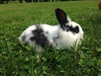 Lion head Cross with Mini Rex Rabbits For Sale