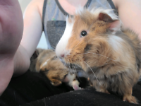 Fluffy Cuddly Guinea Pigs