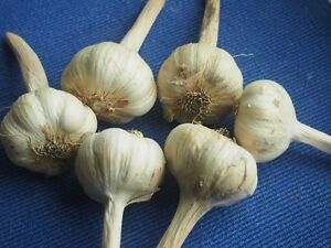 SEED GARLIC, Certified Organic, 9 cultivars still available Cambridge Kitchener Area image 1