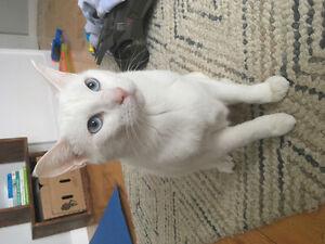Female Spayed White Cat