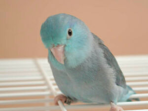 ❤♥☆♥ Parrotlets ♥ Babies with Cage and Food ♥☆♥❤ Cambridge Kitchener Area image 3