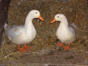 Pekin female duck