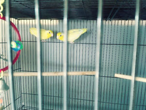 Breeding pair of parrotlets for rehoming