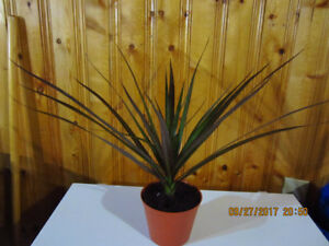 Madagascar Dragon Tree - (Air Purifying)