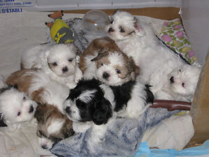 Adorable Shih-Tzu puppies for adoption. West Island Greater Montréal image 2